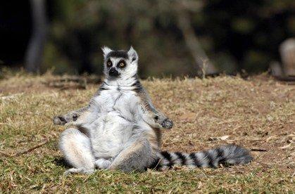 lemur doet gratis oefening
